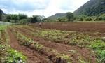 champs d'igname à planter